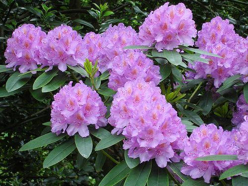 /Images/Articles/rhododendron.jpg